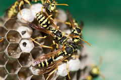A wasp for hives in nature Stock Images