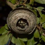 A wasp at home Stock Photos