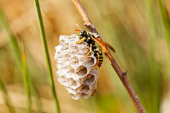 A wasp and honeycomb Stock Photos