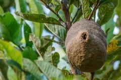 Wasp honungskakarede på trädfilial Arkivfoton
