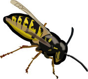 Wasp, Hornet, Bee, Insect, Sting Stock Image