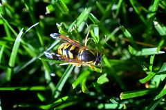 Wasp or Hornet, insect of the order Hymenoptera and suborder Apocrita that is neither a bee nor an ant. Closeup of Large wasp, Dan. Gerous, Striped fly macro in stock photography
