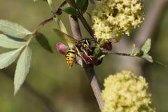 Wasp i en blommande fläderbär arkivfoto