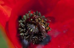 Wasp i en vallmo royaltyfria bilder