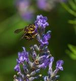 Wasp i trädgården på en varm dag Royaltyfria Bilder