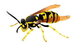 Wasp. In  illustration Stock Images