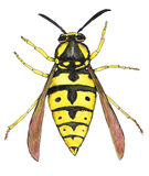 Wasp Stock Images