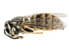 Wasp imago macro - profile, white background Stock Image