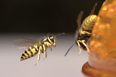 Free Wasp In Flight Royalty Free Stock Photo - 13310065