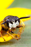 Wasp insect Stock Photos
