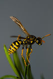 Wasp insect. Note! It can sting Royalty Free Stock Images