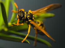 Wasp insect Stock Photography