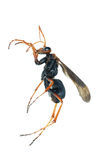 Wasp insect macro isolated on white Royalty Free Stock Photography
