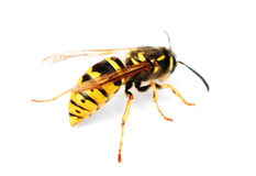 Wasp isolated ower white Stock Photography