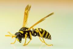 Wasp isolated on plain background Royalty Free Stock Images