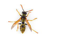 Wasp Stock Image