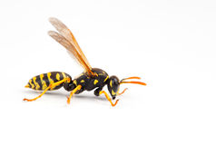 Wasp. Isolated on white background Stock Images