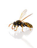 Wasp. Isolated on white background Royalty Free Stock Photography
