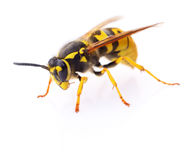 Wasp isolated on white. Stock Photography