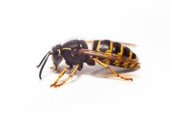 Wasp isolerade Fotografering för Bildbyråer
