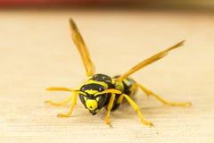 Wasp isolerade på vanlig bakgrund Royaltyfria Bilder