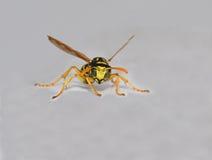 Wasp isolerade på vit Arkivbilder