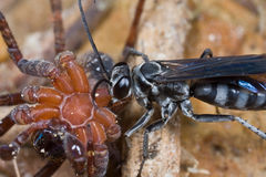 A wasp and its prey - a paralyzed spider Stock Images