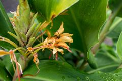 Wasp in a Kahili Ginger Flower with Leaves Stock Photography