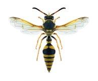 Wasp Katamenes flavigularis Royaltyfri Fotografi