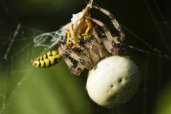 Wasp killed by spider Stock Image
