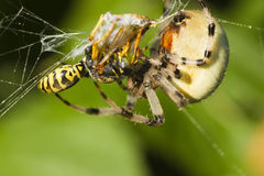 Wasp killed by spider Stock Photo