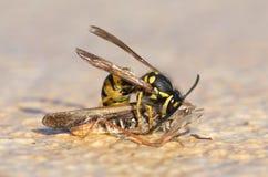 Wasp klipp av ett gräshoppahuvud royaltyfri bild