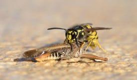Wasp klipp av ett gräshoppahuvud arkivfoto