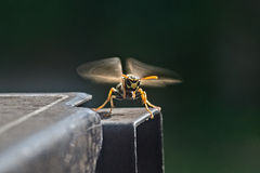 Wasp. A wasp landing or taking off Royalty Free Stock Photo