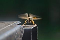 Wasp Royalty Free Stock Photo
