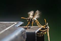 Wasp Royalty Free Stock Photos