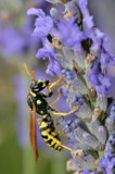 Wasp on lavender flower Royalty Free Stock Photo