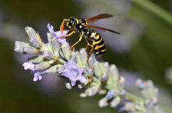 Wasp on lavender flower Royalty Free Stock Images