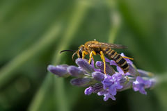 Wasp on lavender strand. Macro of  wasp on lavender strand and green background Royalty Free Stock Photo