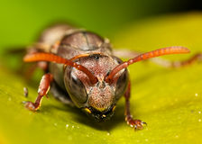 Wasp on leaf. A landscape shot of a wasp on a leaf, looking at the camera Stock Images