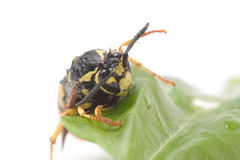 A wasp on a leaf royalty free stock photos