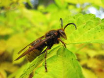 Wasp on leaf Royalty Free Stock Images