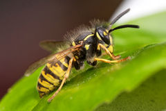 Wasp on a leaf. European Wasp within the United Kingdom on a laurel leaf Royalty Free Stock Image