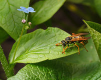 Wasp on leaf Royalty Free Stock Photography