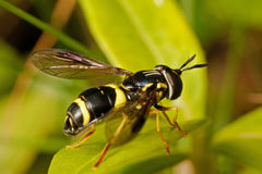 Wasp-like Hoverfly on green leaf Royalty Free Stock Photos