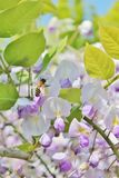 Wasp on lilac wisteria bloom flowers - Stock Photo Stock Photos