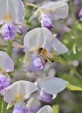 Wasp on lilac wisteria bloom flowers - Stock Photo Royalty Free Stock Photography