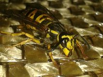 Wasp looking good Royalty Free Stock Photography