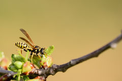 Wasp is looking for something Stock Photography