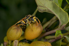Wasp looking at you on green leaf Royalty Free Stock Photography